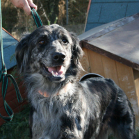 Grace female setter cross