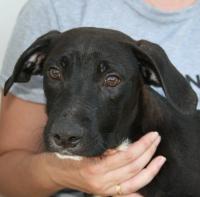 Iggy labrador cross puppy