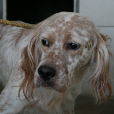 Olaf young male setter