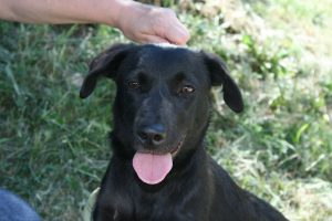 small black lab cross