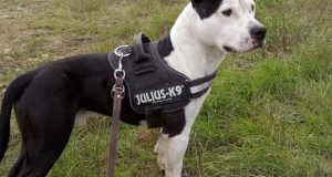 black and white Amstaff