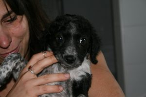 speckled black and white spaniel
