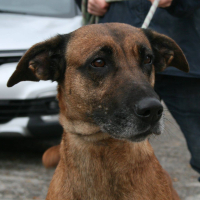 Noisette female shepherd cross