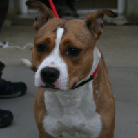Pia female staffie cross