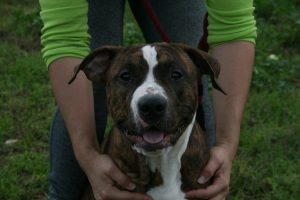 brindle and white staffordshire