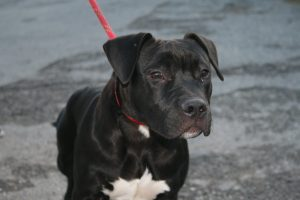 black and white stocky dog