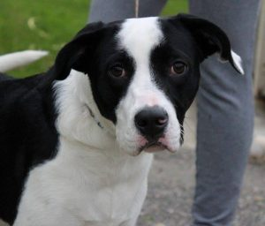 black and white collie cross