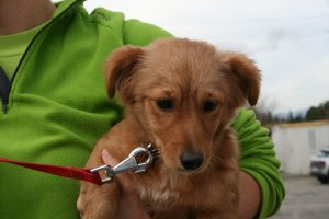 russet coloured fluffy pup