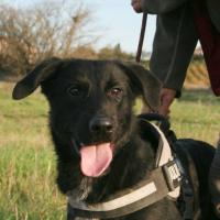 Logan male shepherd cross