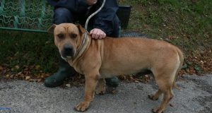 sharpei cross