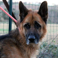Gaspard male German shepherd