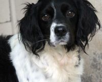 Myron male spaniel cross