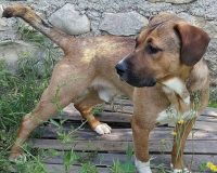 Oups young male boxer malinois cross