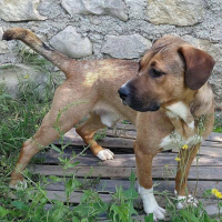 Oups young male malinois cross