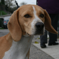 Roucky male beagle cross