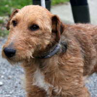 Stewey male wire haired terrier cross