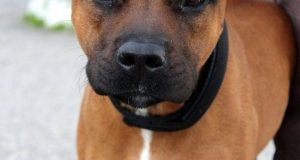 brown boxer cross