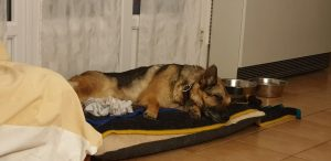 German Shepherd lying down