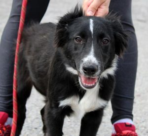 Black and white border collie pup