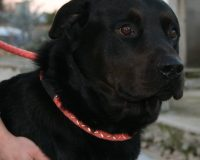 Black male labrador cross