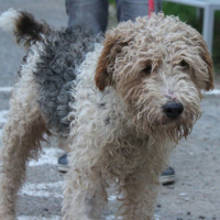 Cuba wire haired terrier