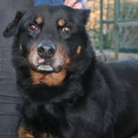 Marcus male beauceron cross