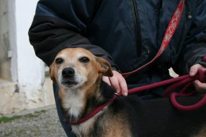 beagle/whippet cross