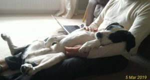 dog relaxing on owner's lap