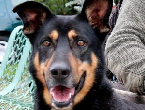 beauceron cross
