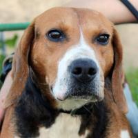 Dionysus male beagle cross