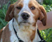 Hermes male beagle cross
