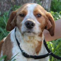 Hermes male beagle cross