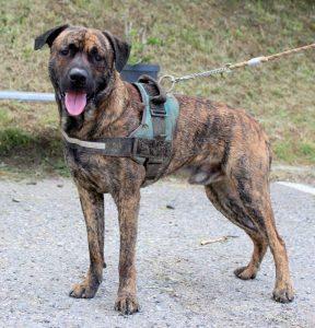 big brindle coloured dog