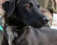 Lana young female shepherd cross