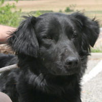Neigo male lab spaniel cross