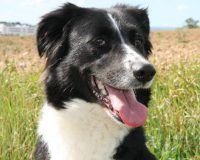 Poma young female border collie