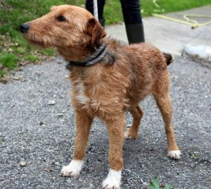 brown fox terrier