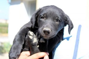 Black lab cross puppy