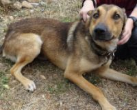 Bolide male shepherd cross