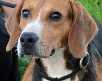 Keops male beagle
