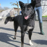 Stinka female shepherd cross