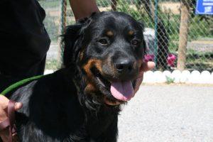big black and tan dog