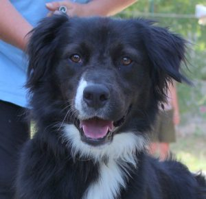 border collie cross