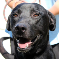 Hansel young male labrador cross