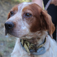Marvin male Brittany spaniel
