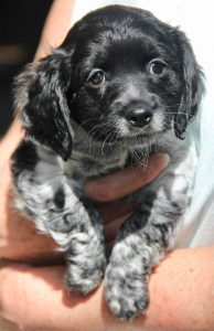spaniel cross pup