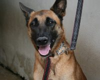 Canelle young female malinois