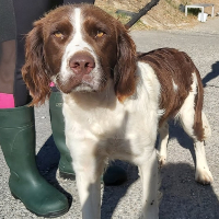 Irish young male springer cross