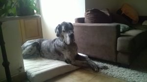 Blue merle great Dane