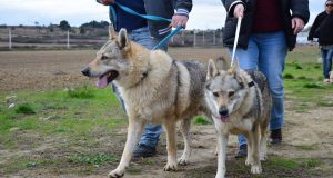 Czech wolf dogs